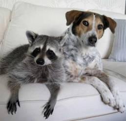 Pumkin, a raccon, and his dog buddy Oreo