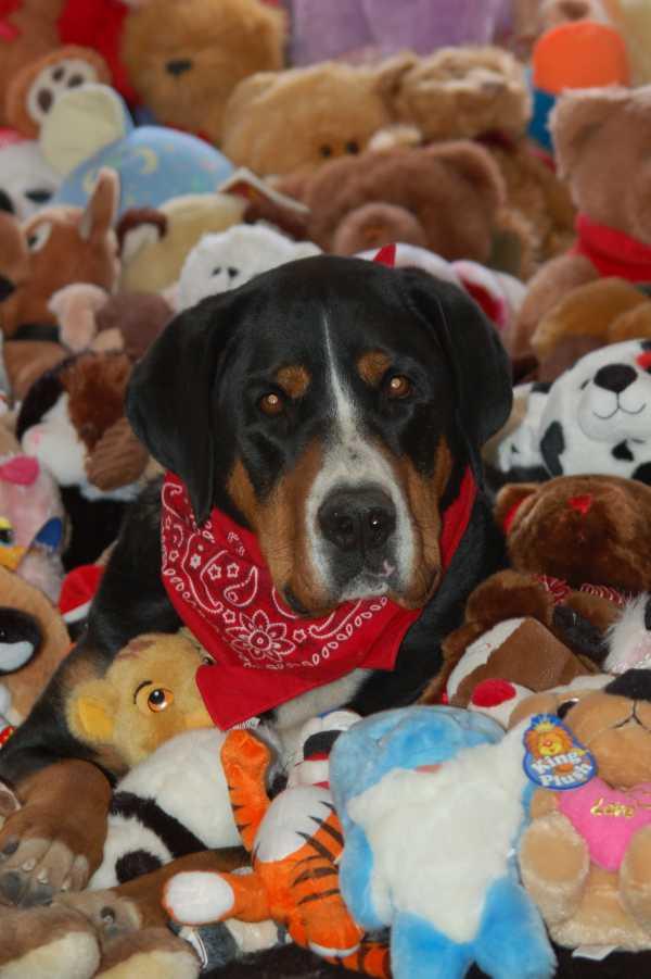 Greater Swiss Mountain Dog Helps Kids Through Teddy Bears Fido