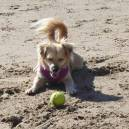Skipper the Travel Dog playing ball on the beach